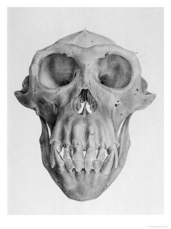 Skull of an Ape