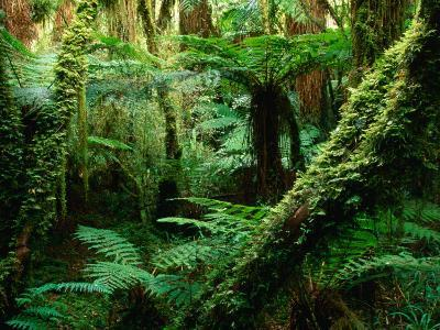 Trees and Ferns in Beech Forest, Oparara, New Zealand