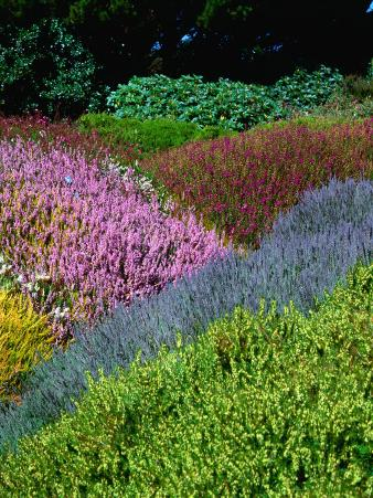 Flowering Heathers at Thompson Gardens, Mendocino, California, USA