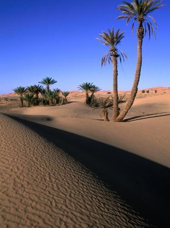Palm Trees in the Desert Dunes, Erg Chebbi Desert, Morocco
