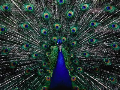 Peacock in Full Display, Quito, Pichincha, Ecuador,