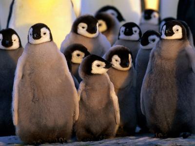 Emperor Penguin (Aptenodytes Forsteri) Chicks at Dawson-Lambton Glacier, Weddell Sea, Antarctica