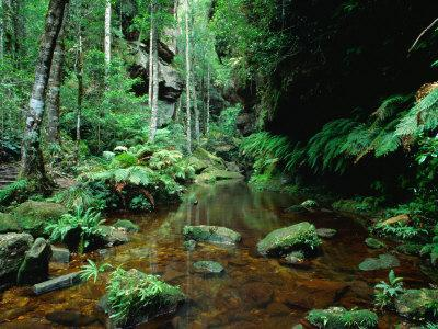 Temperate Rainforest at Greaves Creek, Feature of Grand Canyon Walk Blue Mountains NP, Australia