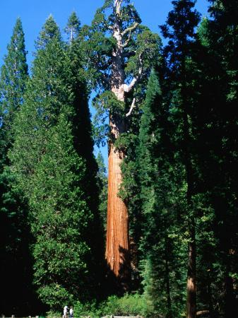 General Grant Tree in Grant Grove, Kings Canyon National Park, USA