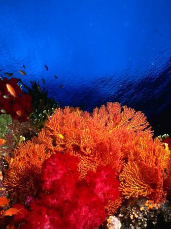 Soft Corals Atop Stillwater's Storm-Damaged Hard-Coral Base, Taveuni, Fiji