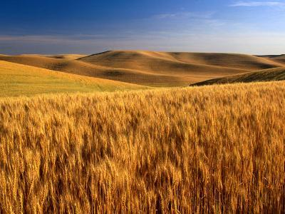 Wheat Fields, Palouse, USA