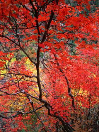 Colourful Leaves on Trees, Zion National Park, Utah, USA