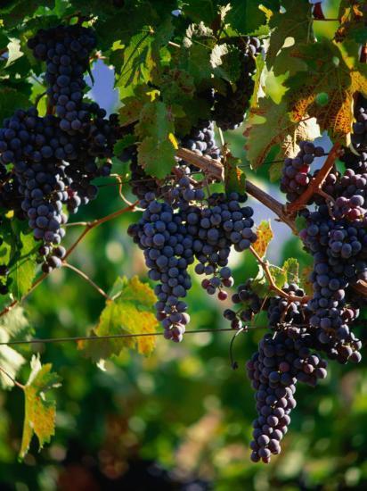 Purple Grapes Hanging On Vine Napa Valley California
