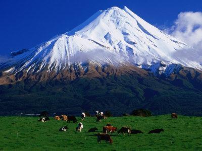 Cattle Graze Beneath the Dormant Volcano Mt. Taranaki, or Egmont, Taranaki, New Zealand