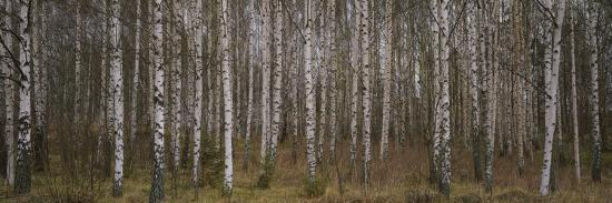 Silver Birch Trees In A Forest Narke Sweden Photographic