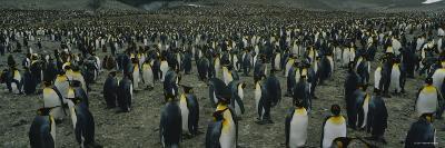 Penguins on an Island, Royal Bay, South Georgia Island