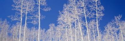 American Aspen Trees in the Forest, Utah, USA