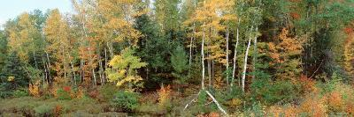 Trees in a Forest, Vilas County, Lac du Flambeau, Wisconsin, USA