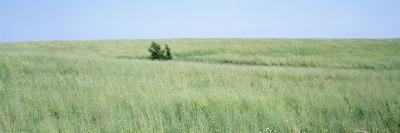 Grass on a Field, Prairie Grass, Iowa, USA