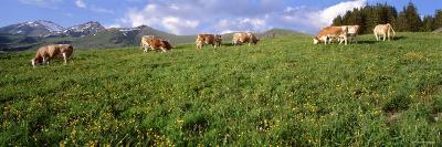 Cows Grazing in the Field, Switzerland