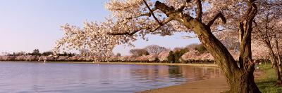 Cherry Blossom Tree along a Lake, Potomac Park, Washington D.C., USA