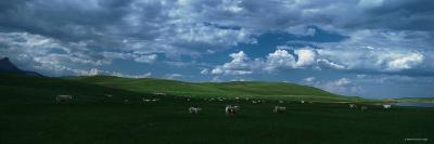 Charolais Cattle Grazing in a Field, Rocky Mountains, Montana, USA