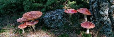 Fly Agaric Mushrooms, French Riviera, France