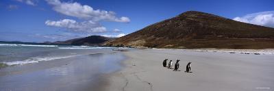 Four Gentoo Penguins Standing on the Beach, Falkland Islands