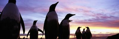 Silhouette of a Group of Gentoo Penguins, Falkland Islands