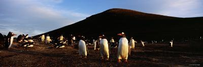 Colony of Gentoo Penguins Standing on a Landscape, Falkland Islands