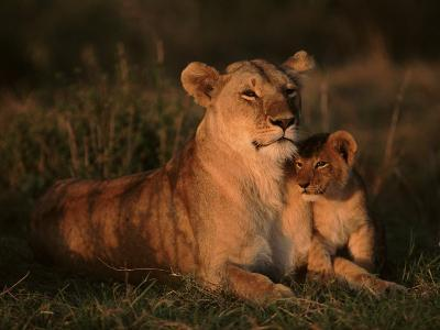 Lioness with Very Young Cub (Panthera Leo) East Africa