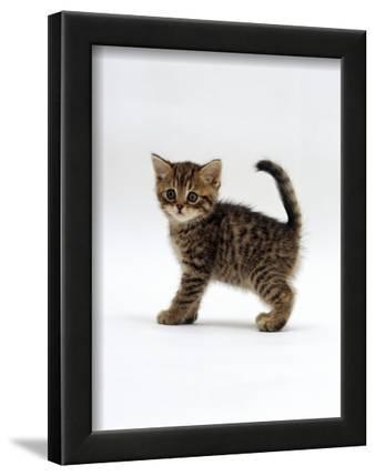 Domestic Cat, 6-Week Tabby Chinchilla Crossed with British Shorthair ...