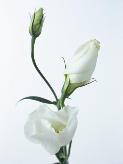 Close Up Of Eustoma Russellanium Kyoto Pure White Flower And Buds