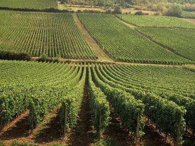 Vineyards Near Lugny, Burgundy (Bourgogne), France