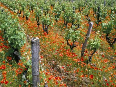 Vineyards Near Sauterne, Gironde, Aquitaine, France