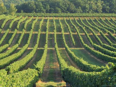 Vineyard Near Monbazillac, Dordogne, Aquitaine, France