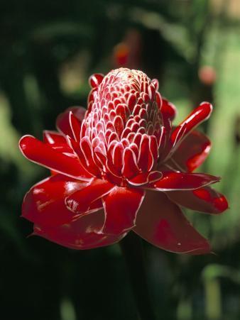 Rose De Porcelaine, Commune De Sainte Marie, Island of Martinique, French Lesser Antilles
