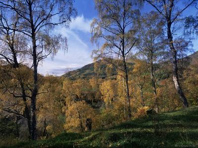 Birch Trees in Autumn, Glen Lyon, Tayside, Scotland, United Kingdom