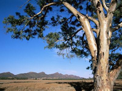 Red River Gum Tree (Eucalyptus Camaldulensis), Wilpena, Flinders Ranges, South Australia, Australia