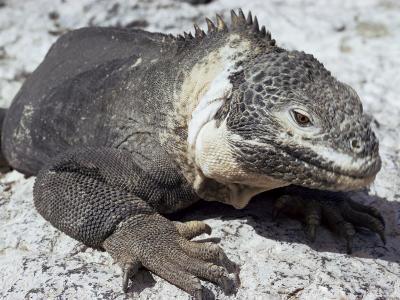 Land Iguana, Plaza Island, Galapagos Islands, Ecuador, South America