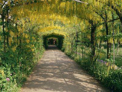 Laburnum Walk in Wilderness Gardens, Hampton Court, Greater London, England, United Kingdom