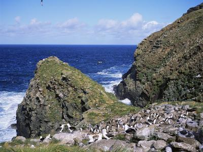 Black-Browed Albatross and Rockhopper Penguins, Westpoint Island, Falkland Islands, South America