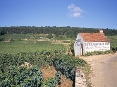 Vineyards on Route Des Grands Crus, Nuits St. Georges, Dijon, Burgundy, France