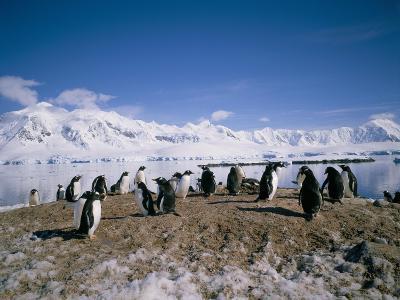 Gentoo Penguins, Antarctica, Polar Regions