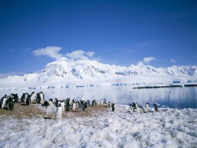 Gentoo Penguins and Anvers Island in Background, Antarctica, Polar Regions