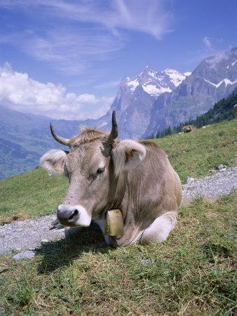 Cow at Alpiglen, Grindelwald, Bernese Oberland, Swiss Alps, Switzerland