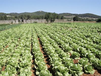 Cabbage Field Near Sant Llorenc, Ibiza, Balearic Islands, Spain
