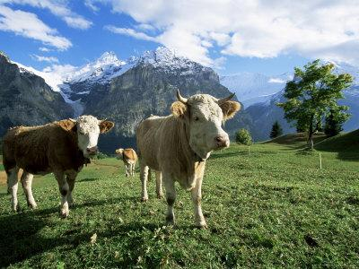 Cows Near Grindelwald, Bernese Oberland, Swiss Alps, Switzerland