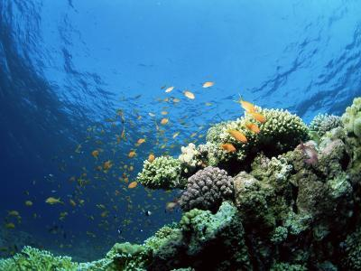 Sunlit Reef Top with Hard Corals and Anthias, Red Sea, Egypt, North Africa, Africa