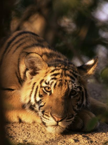 indo chinese tiger cub panthera tigris corbetti tiger