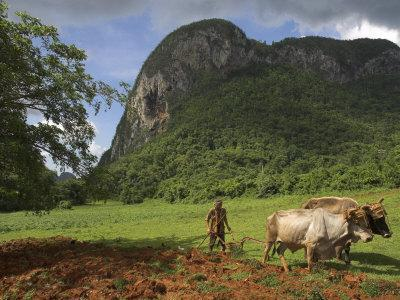 Peasant Farmer Ploughing Field with His Two Oxen, Vinales, Pinar Del Rio Province, Cuba