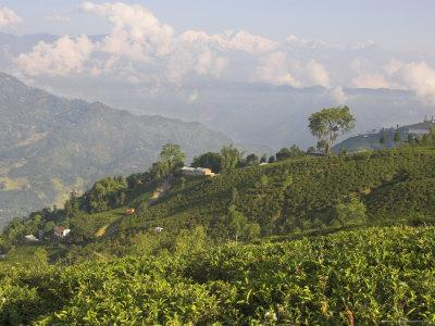 Singtom Tea Garden, Snowy and Cloudy Kandchengzonga Peak in Background, Darjeeling, Himalayas