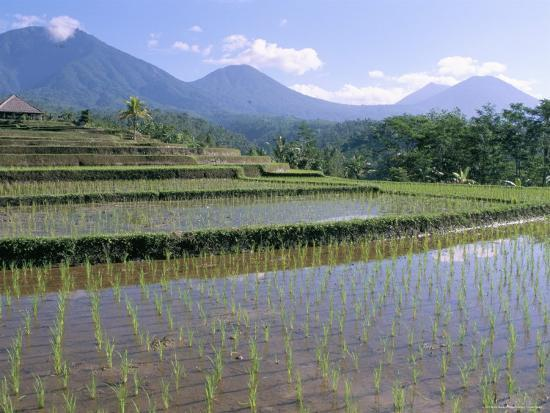 Rice Paddy Fields In Centre Of The Island Bali Indonesia