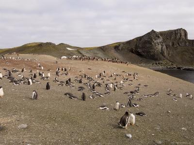 Gentoo Penguins, Aitcho Island, South Shetland Islands, Antarctica, Polar Regions