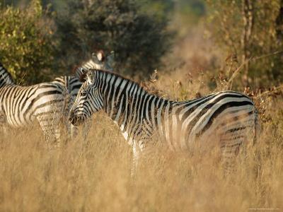 Zebras, Hwange National Park, Zimbabwe, Africa